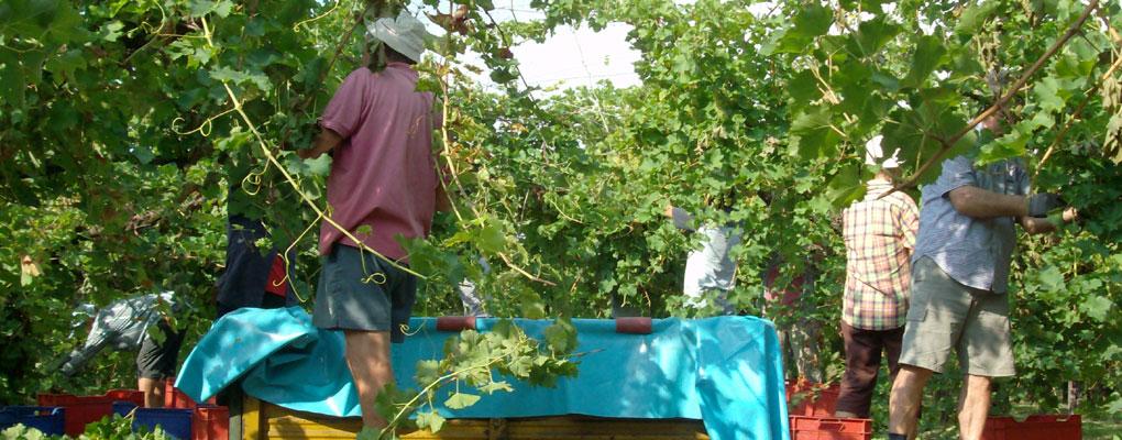 Al lavoro tra le vigne